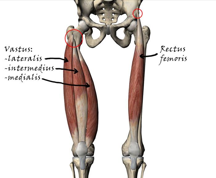 quad_anatomy